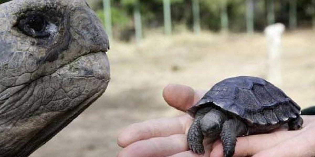 Tercera camada de tortugas nacen en Galápagos