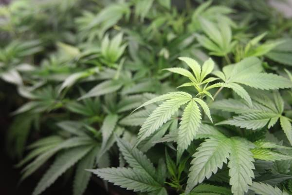 En imagen de archivo del 1 de enero de 2018, plantas de marihuana a la venta en el dispensario de marihuana Harborside en Oakland, California. (AP Foto/Mathew Sumner, archivo)