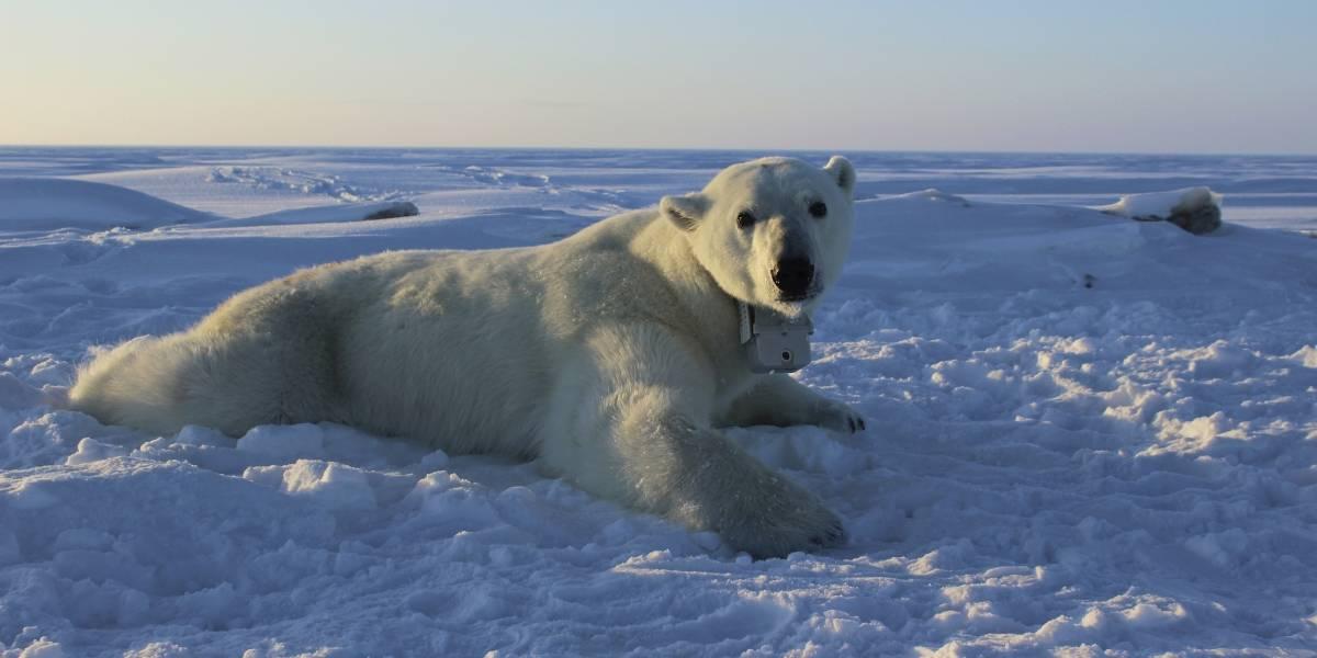 Osos polares del Ártico pierden peso por el cambio climático