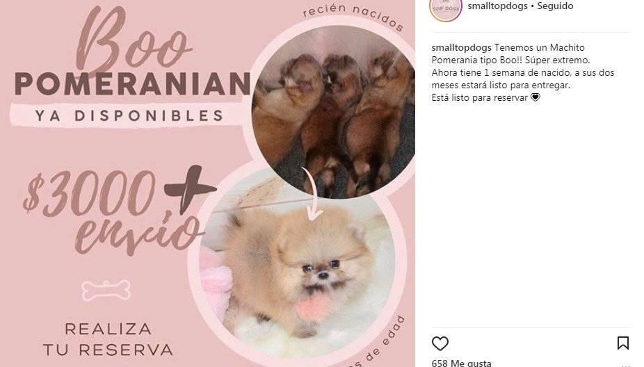 Costo Pomeranian
