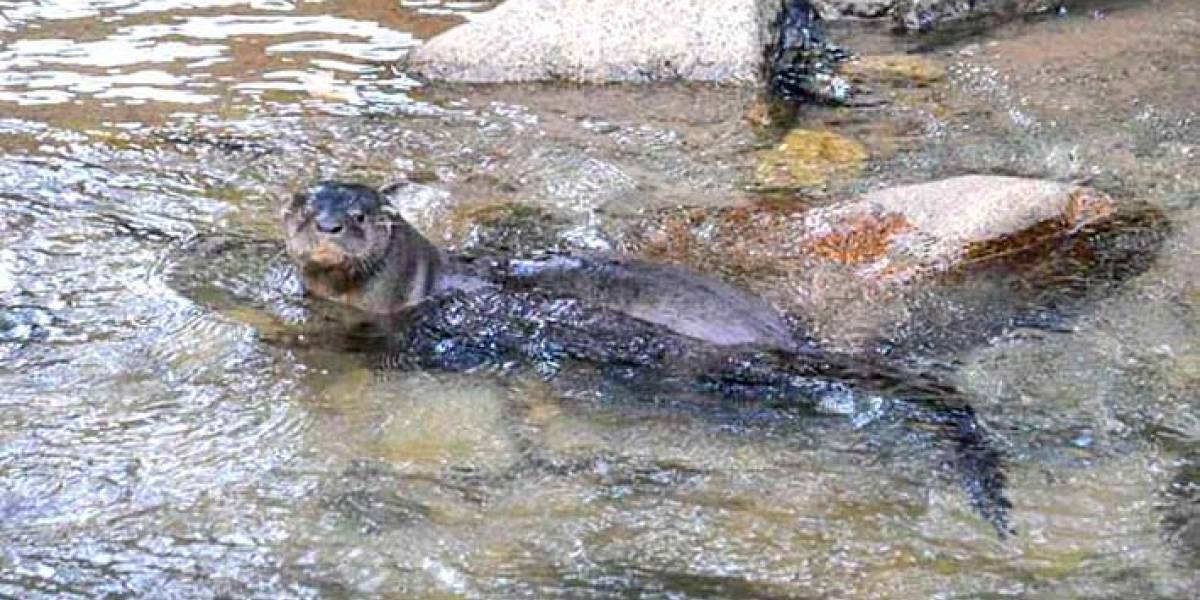 Sorpresa ha causado una nutria bañándose en río de zona urbana de Santa Marta