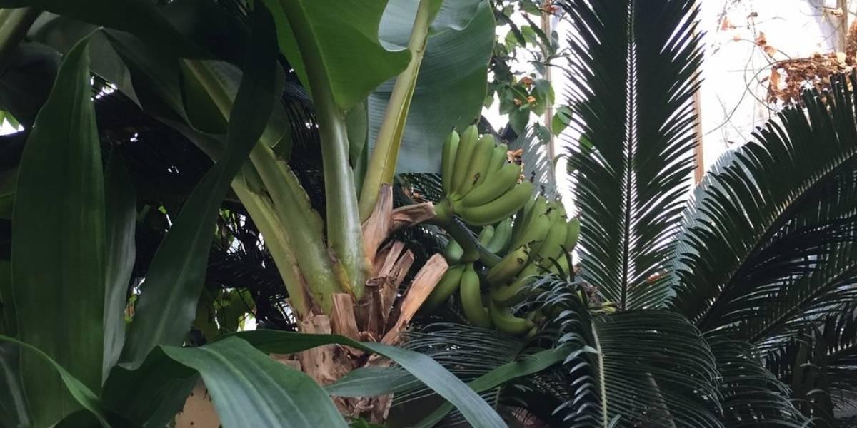 Incautan nueve toneladas de cocaína camuflada en bananos en España