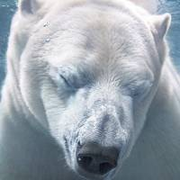 polarbearfacecloseupunderwater-84438810099d45d14cc601407833f918.jpg