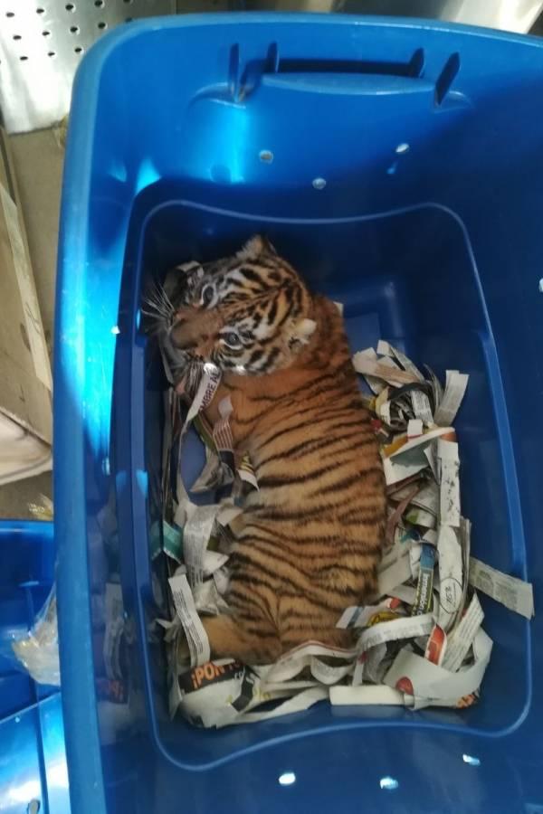 Localizan un cachorro de tigre dentro de caja en una paquetería