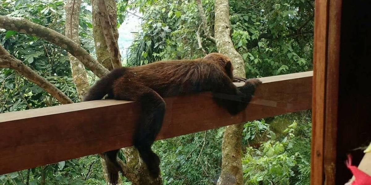 Após febre amarela, população de macacos só deve voltar ao normal em 2 anos