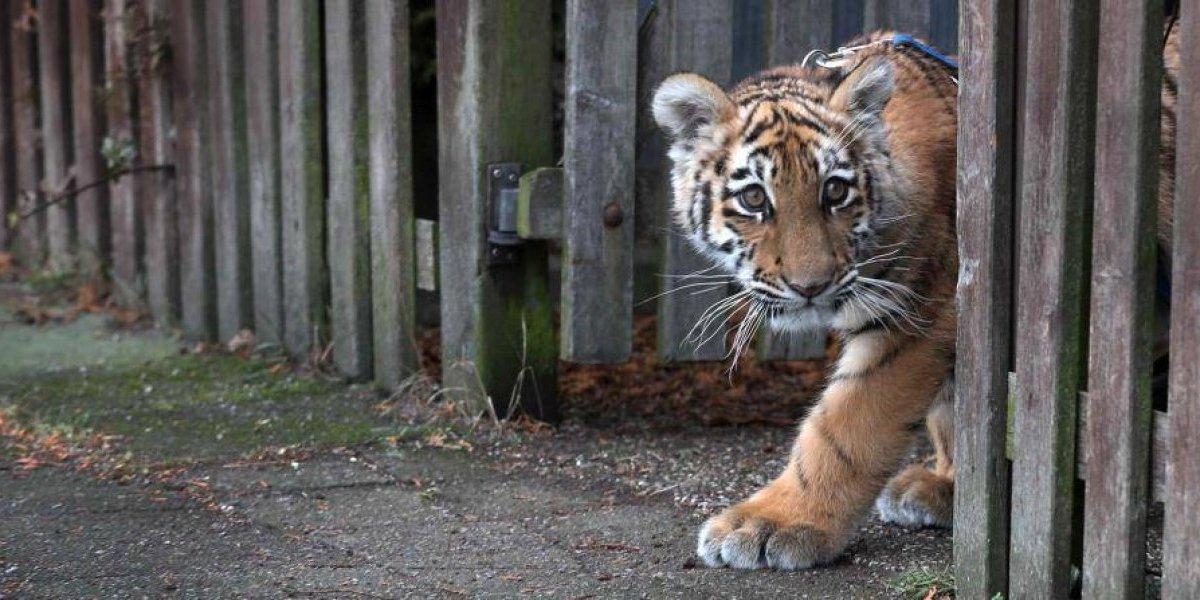 """""""Metí demasiado las manos en la jaula"""": tigre ataca a su cuidador y le arranca los dos brazos de un mordisco"""