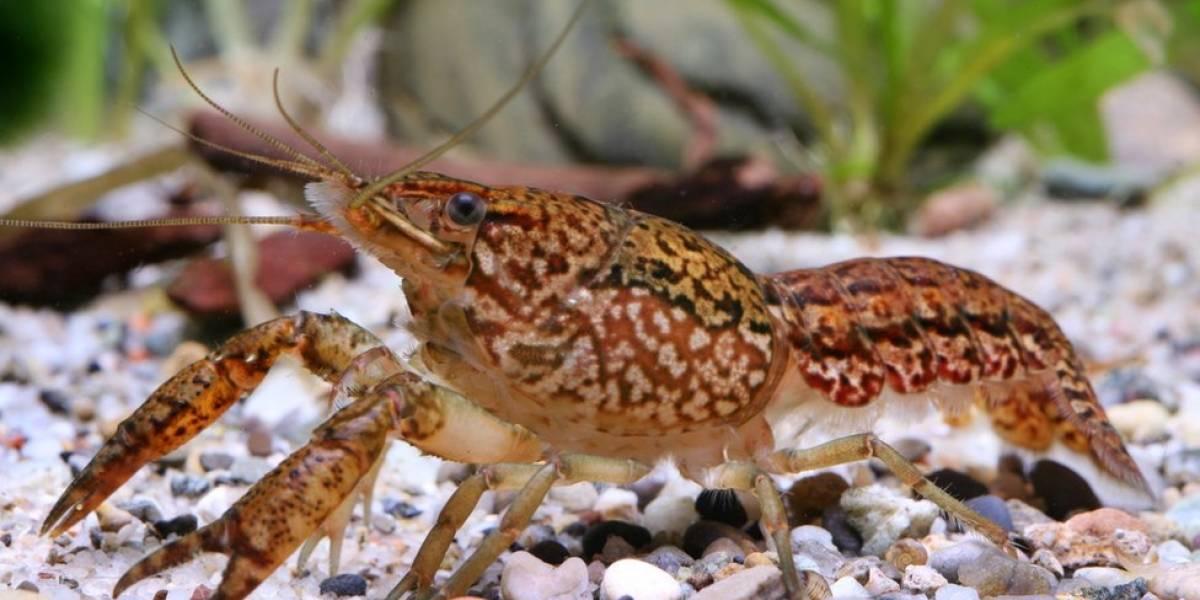 El cangrejo de mármol, la especie mutante que se clona a sí misma y está invadiendo el mundo