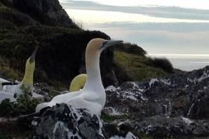 Nigel, el ave más solitaria del mundo