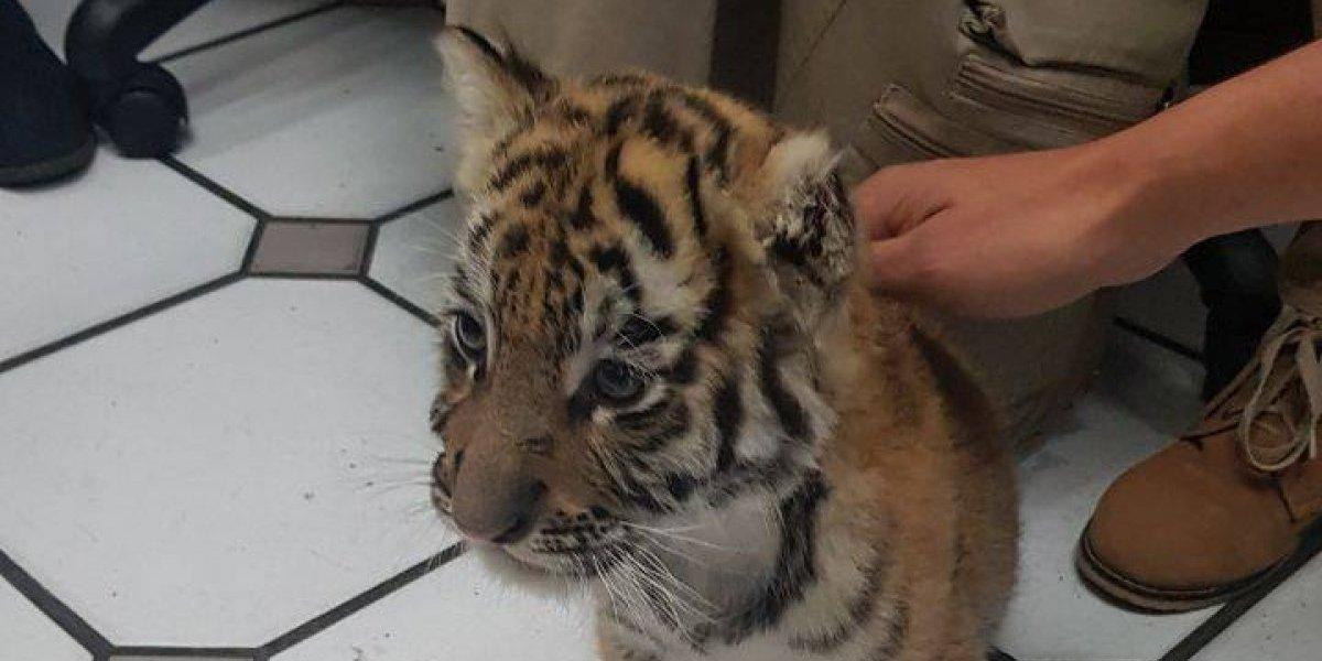 Profepa asegura a cachorro de tigre encontrado en empresa de paquetería