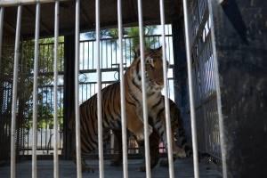 tigrescircoponcejocotillo2-58b5dd6e742e2489fbd65b08ca98bf52.jpg
