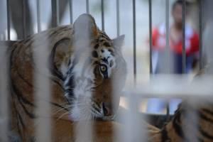 tigrescircoponcejocotillo25-67385e9bbeeee04d010182b081894998.jpg