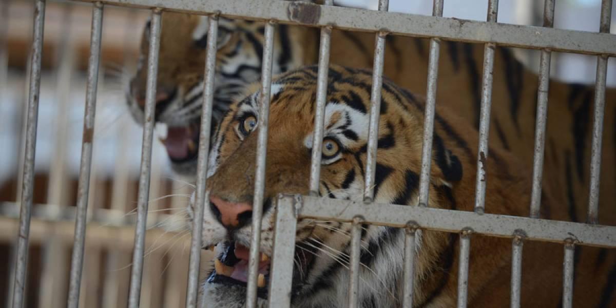 Unidad de Bienestar Animal inicia proceso legal contra circo para que entregue 32 felinos