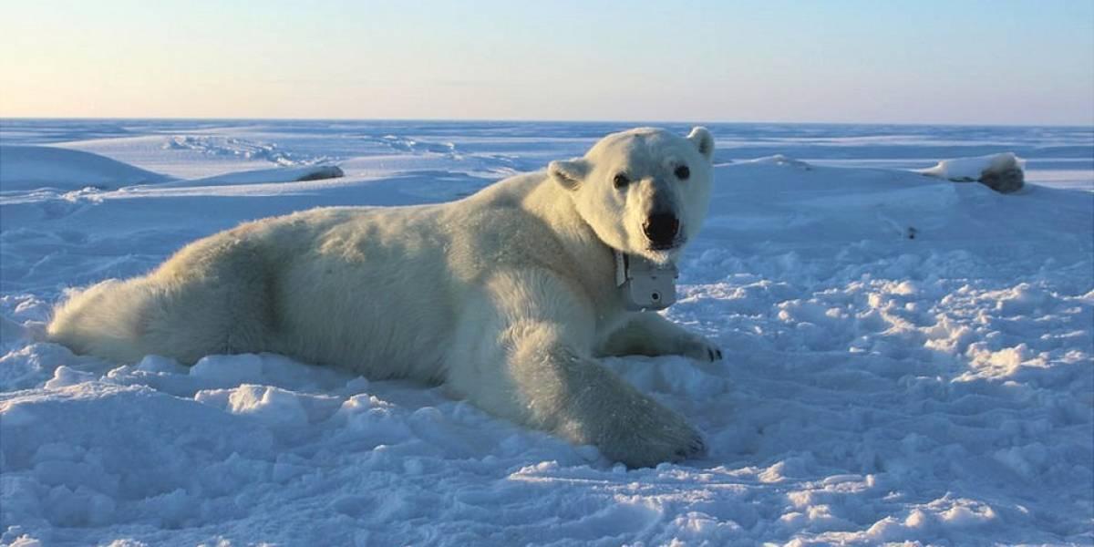 Lo que revelan las cámaras que siguieron durante 2 años la vida de los osos polares en el Ártico