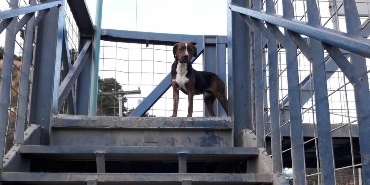 """VIDEO. Perros usan la pasarela y aseguran que """"dan un ejemplo"""" a peatones"""