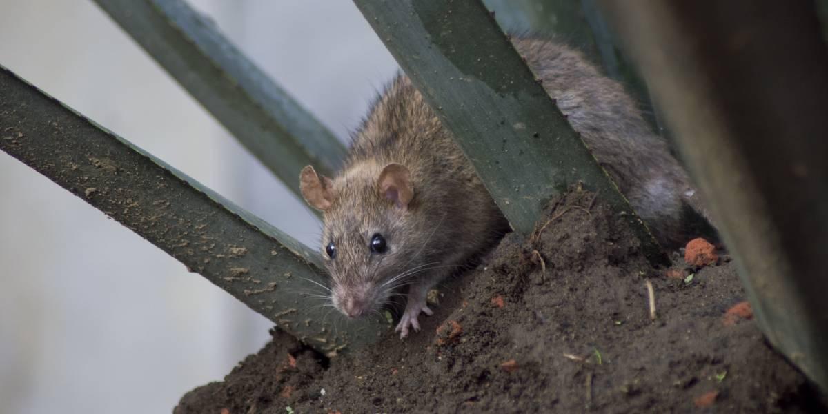 Ratas devoran a hombre en Aguascalientes
