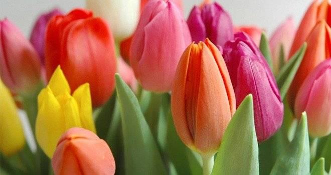 tulipanes1660x650.jpg