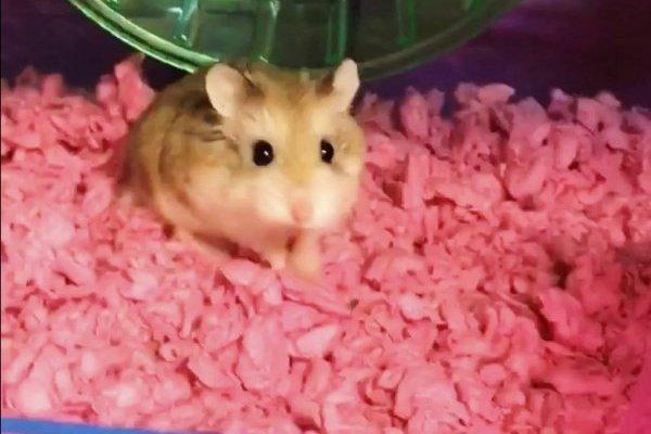 Esta foto sin fecha de un video provisto por Belen Aldecosea muestra a Pebbles, su hamster. Según Aldecosea, Spirit Airlines le dijo que echara el animalito al inodoro del aeropuerto porque no podía llevarlo a bordo.