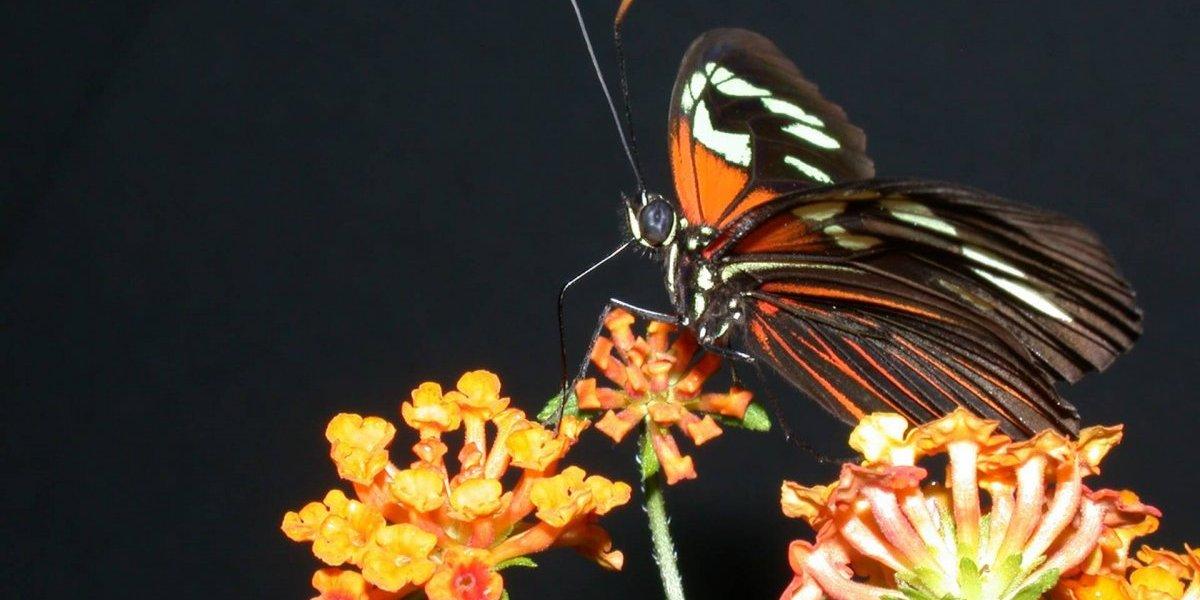 Otorgan $4 millones a profesor UPR para investigación de mariposas tropicales