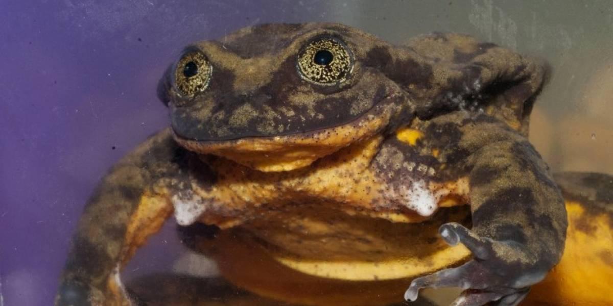 En el mes del amor, buscan a la Julieta de la rana Romeo para preservar su especie