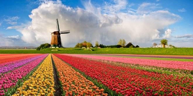 windmillandtulipsholland.jpg
