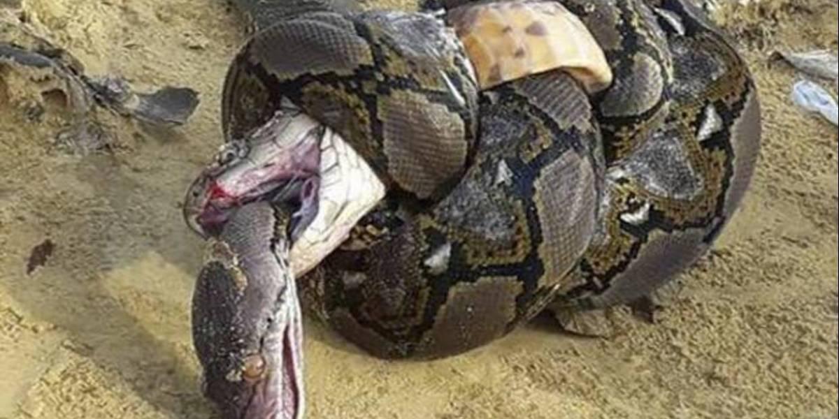 Así terminó la lucha a muerte entre una cobra y una pitón