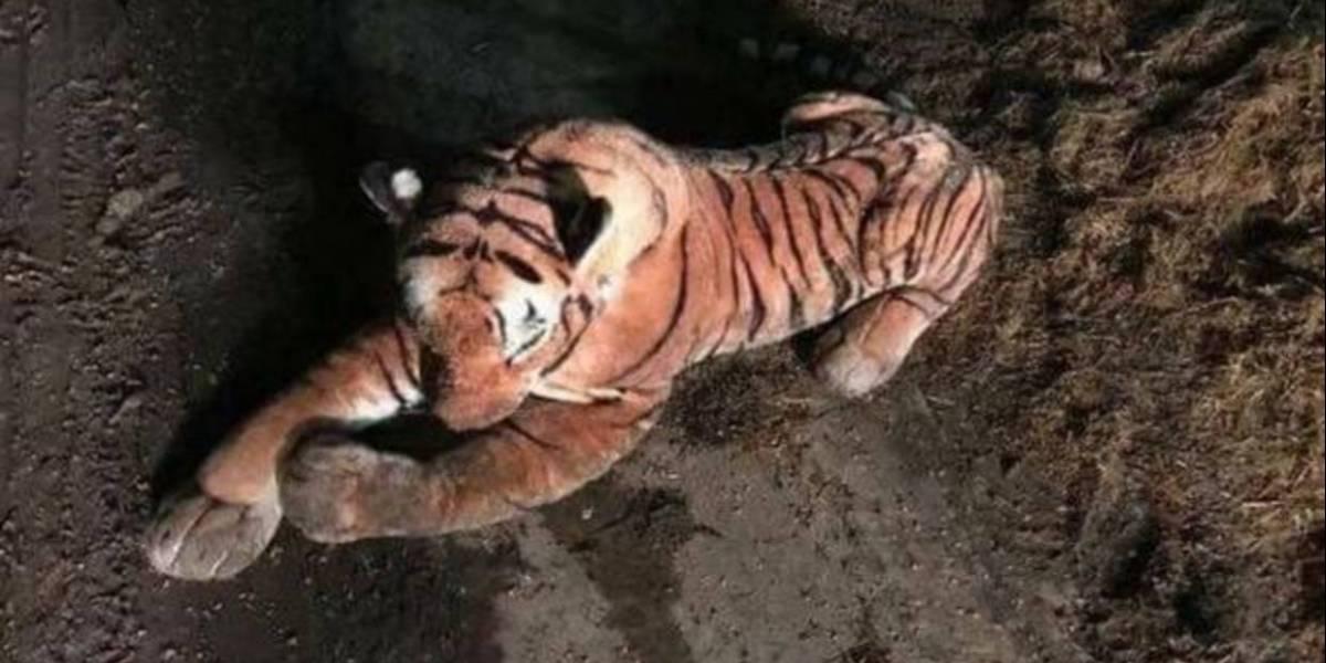 Policías rodean tigre durante 45 minutos y se dan cuenta que es de peluche