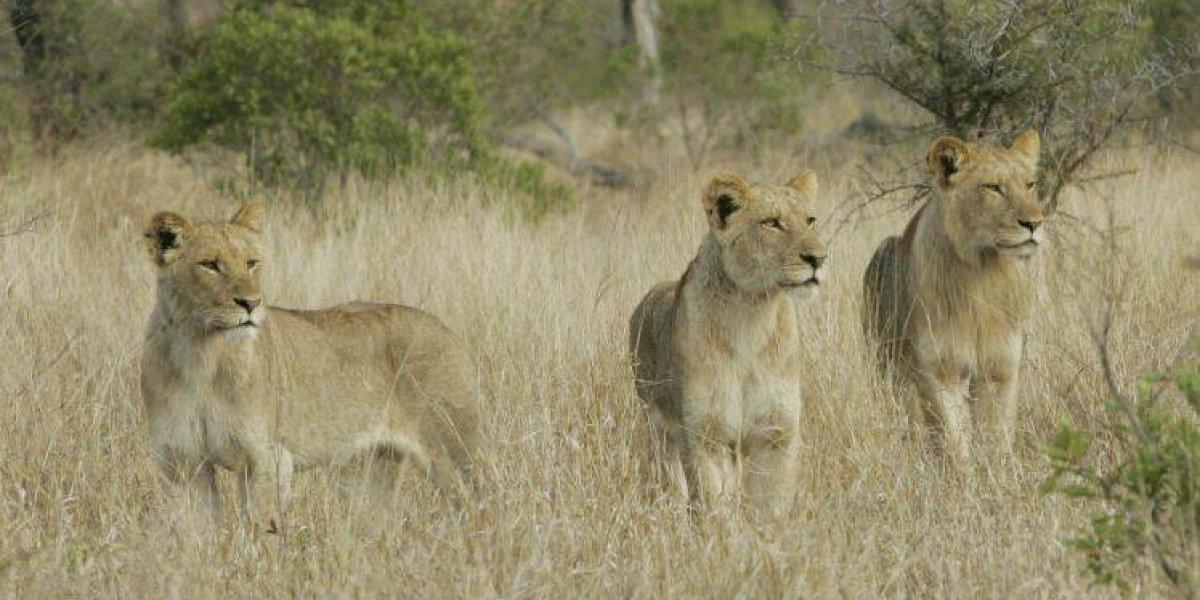 Caçador é morto e devorado por grupo de leões que perseguia