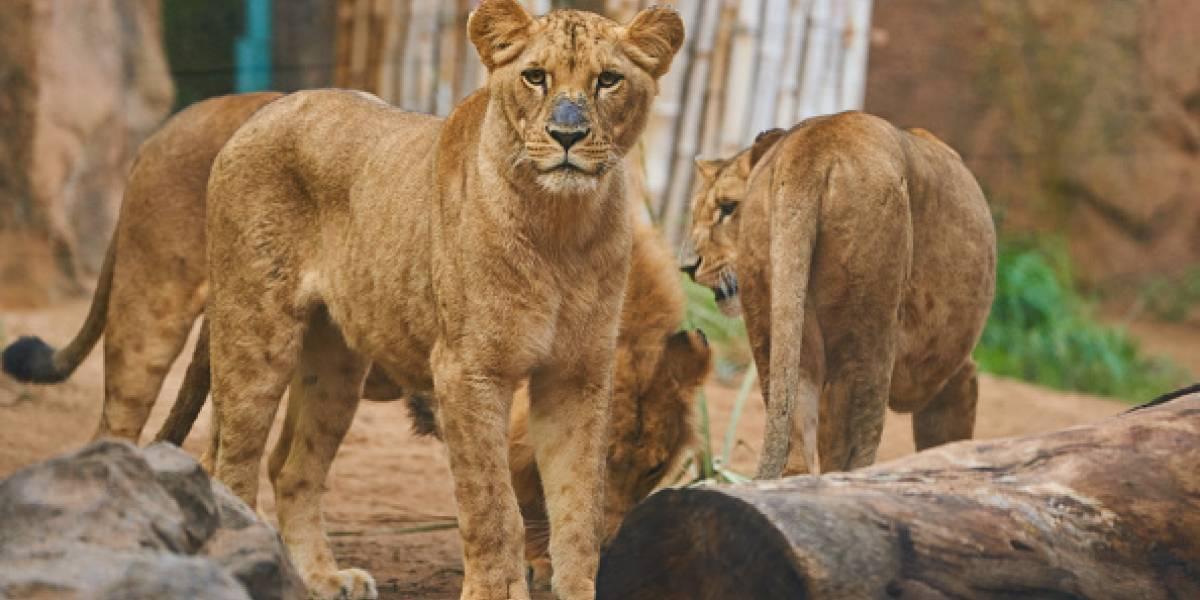 Cazador furtivo muere devorado por leones en Sudáfrica