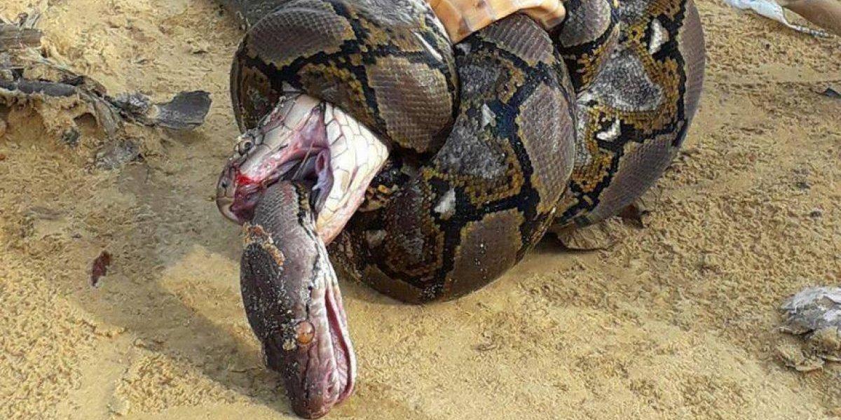 O horrível final da luta entre uma cobra-real e uma píton