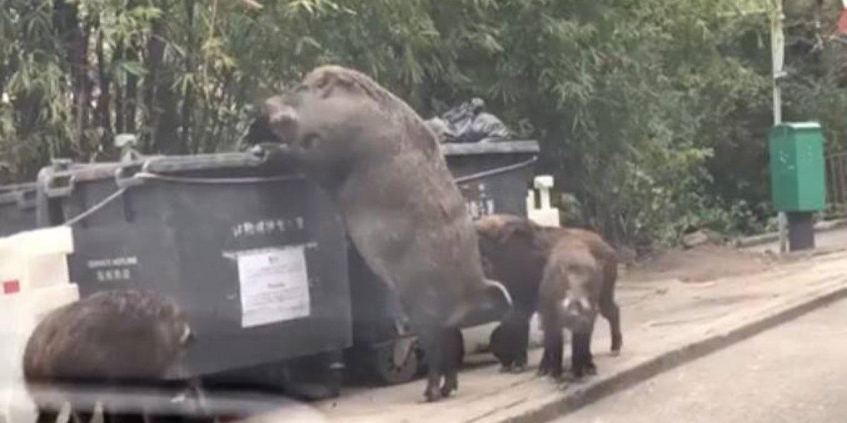 """""""Pigzilla"""": el gigantesco jabalí que generó pánico mientras buscaba comida en un contenedor de basura en Hong Kong"""