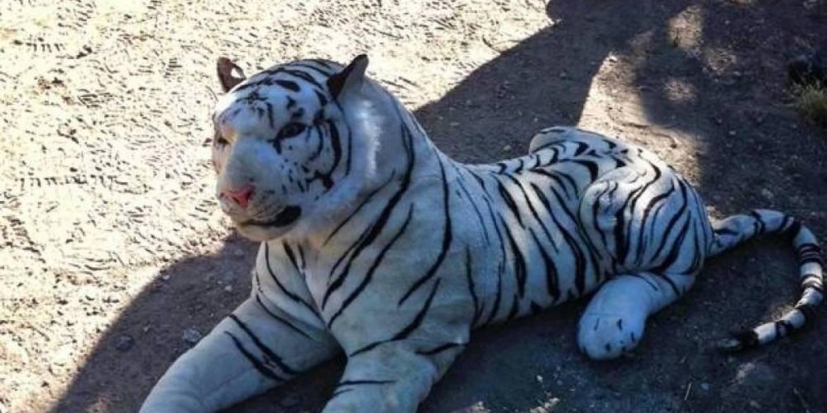 Realizan operativo durante 45 minutos para atrapar a tigre...de peluche