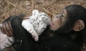 6chimpanzeeandtigercubjpg300x300.jpg