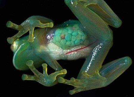 Las ranas de cristal - VeoVerde | Nueva Mujer