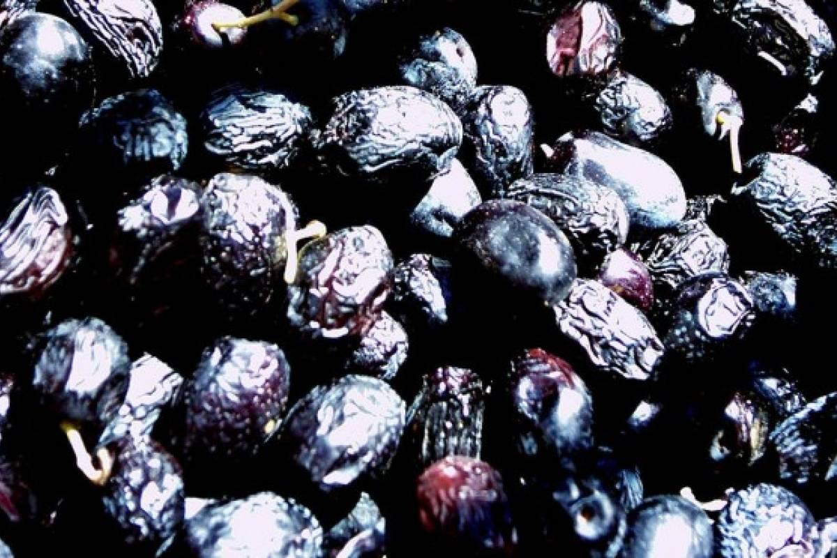 Como preparar las aceitunas recogidas
