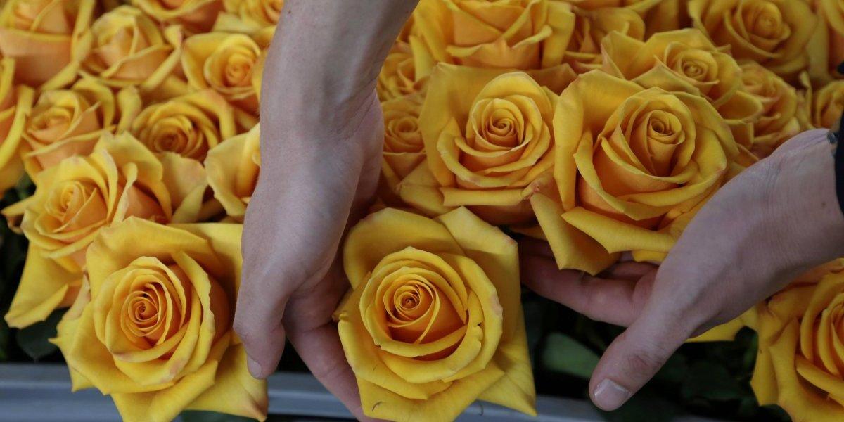 Ecuador tiñe rosas que duran mucho más allá de San Valentín