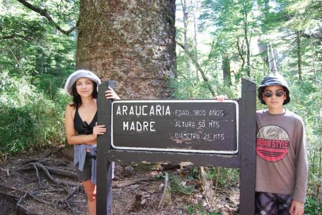 araucaria660x550.jpg