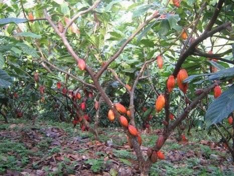 cacao466x350.jpg