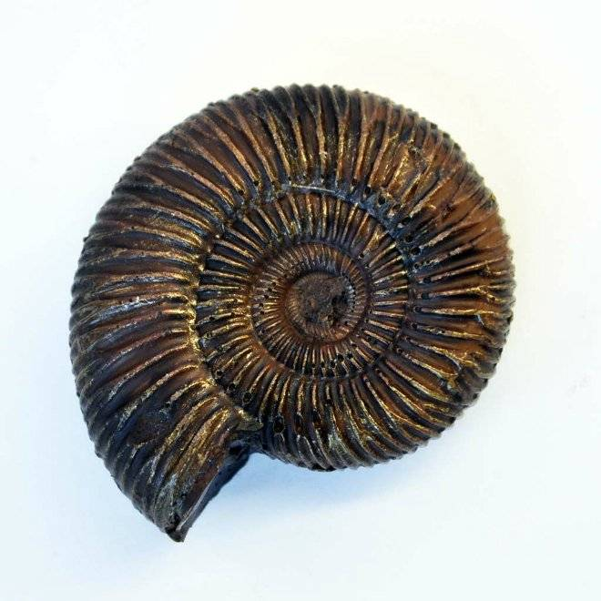 chocolateammonite.jpg