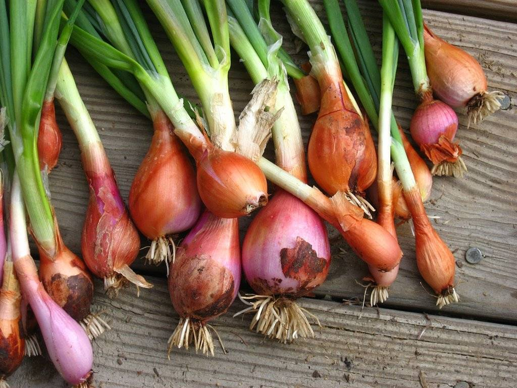 onions-2.jpg