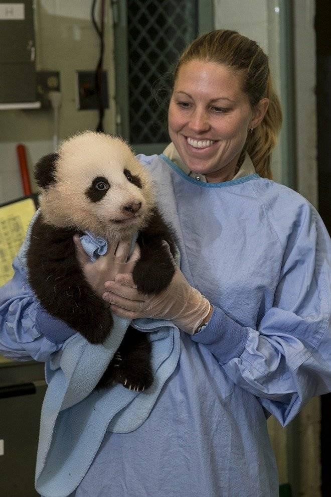 San Diego Zoo Giant Panda Turns 100-days Old, Has 12th Veterinary Exam