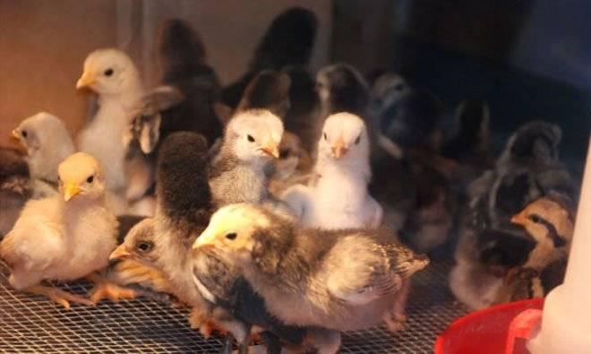 pollo-1.jpg