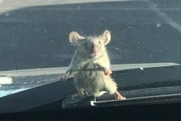 ratoncito sospechoso