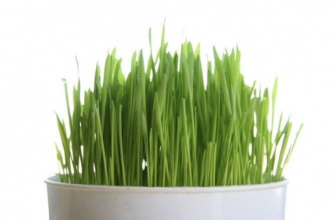 wheatgrass660x550.jpg