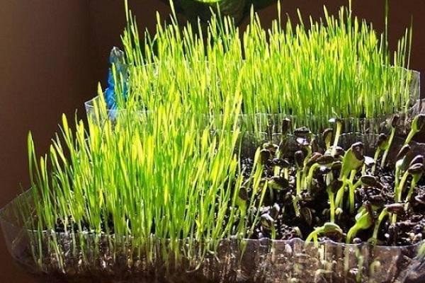 como se hace germinado de trigo