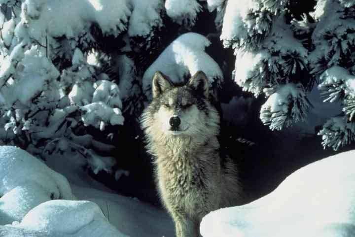 wolfsnow.jpg