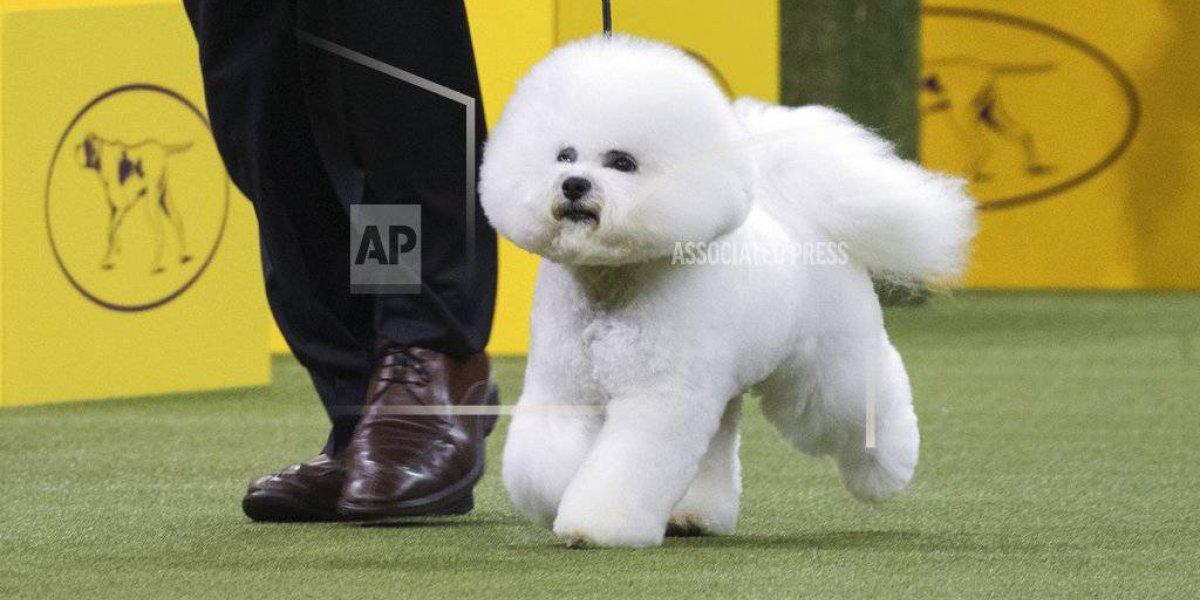 El frisé Flynn gana concurso canino del Westminster