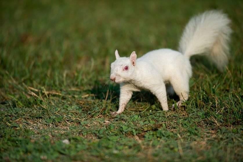 albinosquirrel.838x0q80.jpg