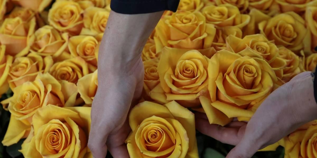 Las rosas ecuatorianas que se tiñen para durar mucho más allá de San Valentín