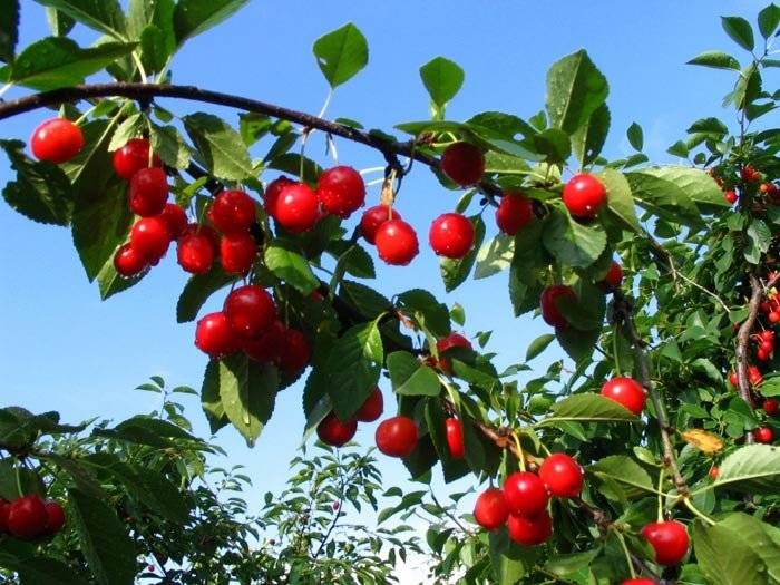 arbolesfrutales.jpg
