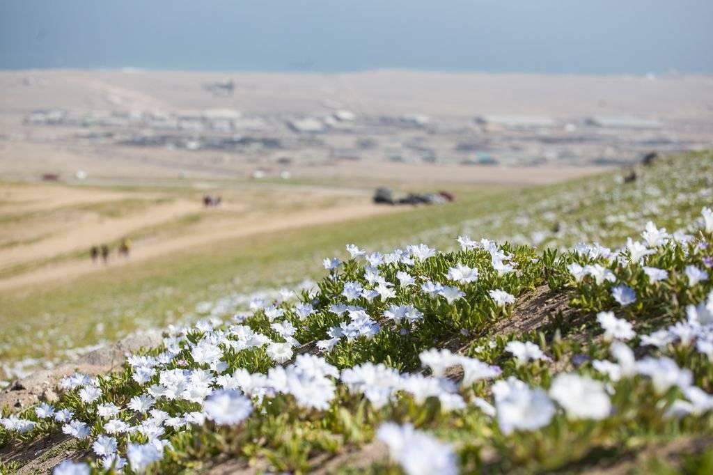 ANTOFAGASTA: Desierto florido en la ciudad
